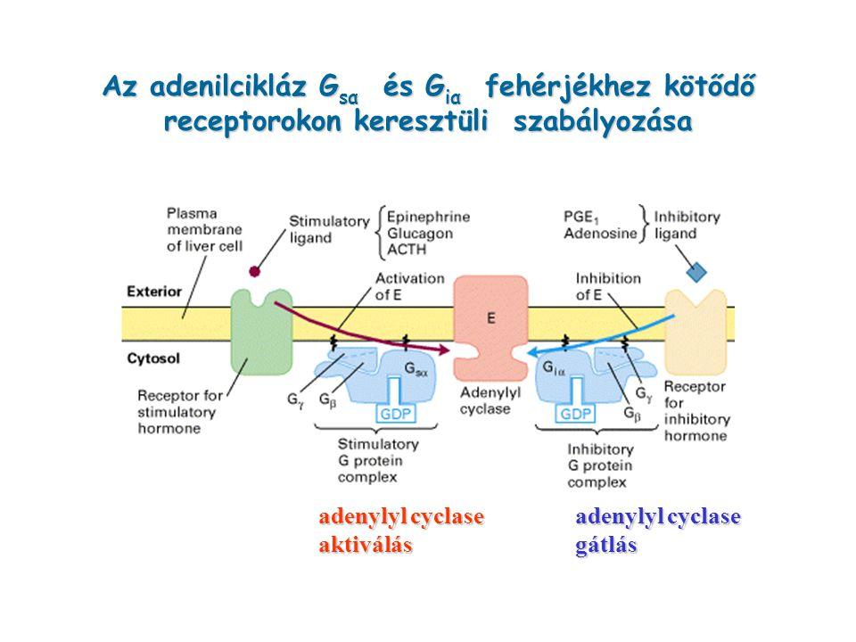 Az adenilcikláz Gsα és Giα fehérjékhez kötődő receptorokon keresztüli szabályozása
