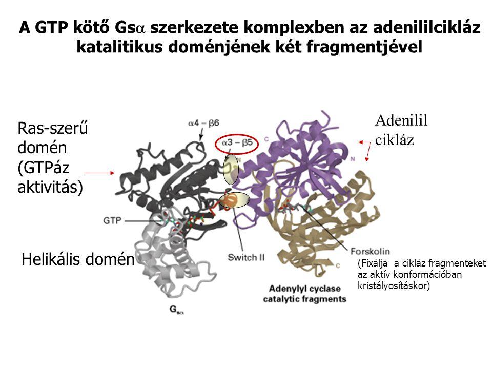 Ras-szerű domén (GTPáz aktivitás)
