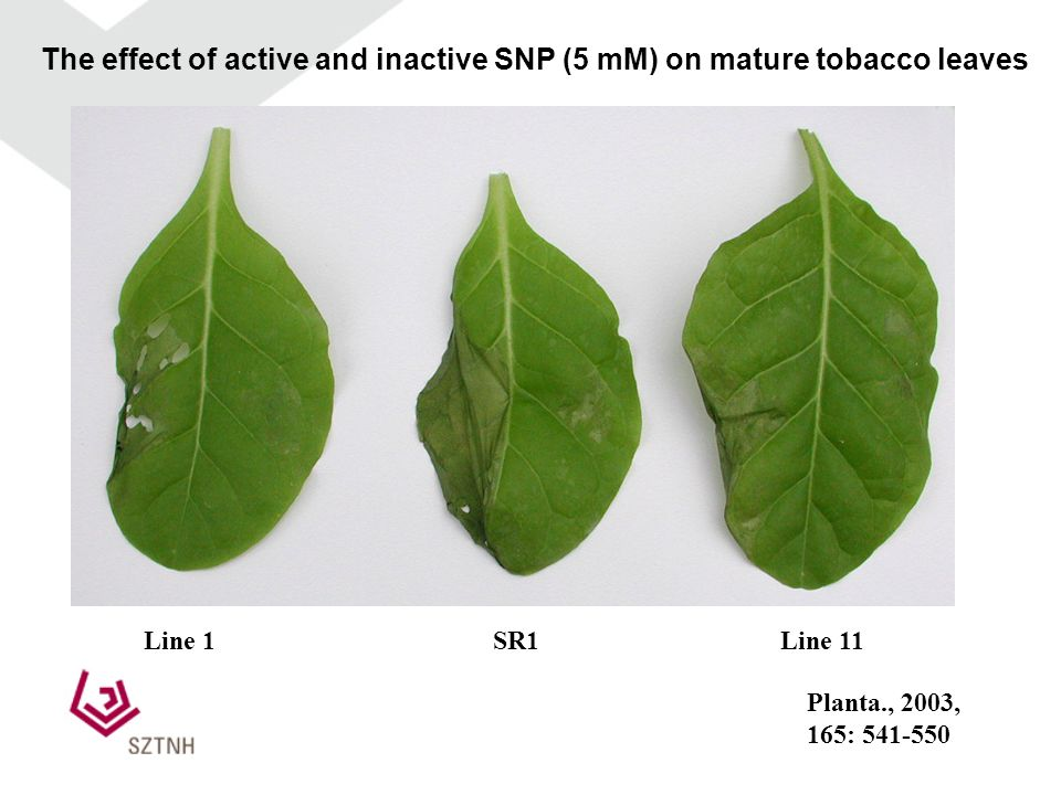 The effect of active and inactive SNP (5 mM) on mature tobacco leaves