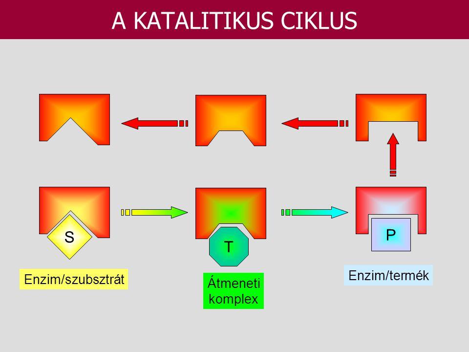 A KATALITIKUS CIKLUS S P T Enzim/termék Enzim/szubsztrát Átmeneti