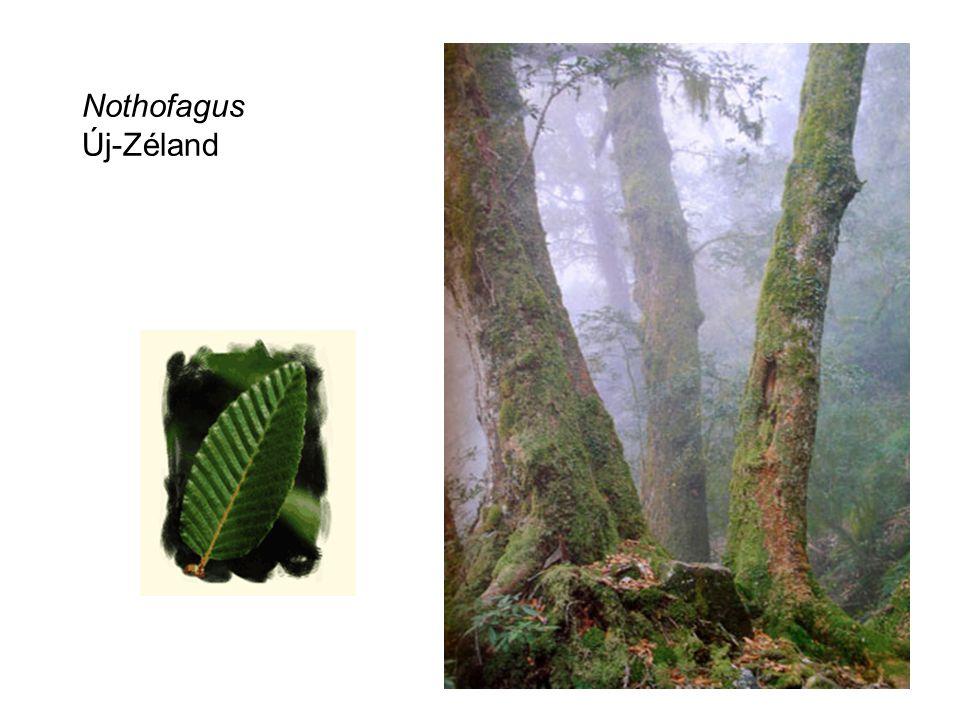 Nothofagus Új-Zéland