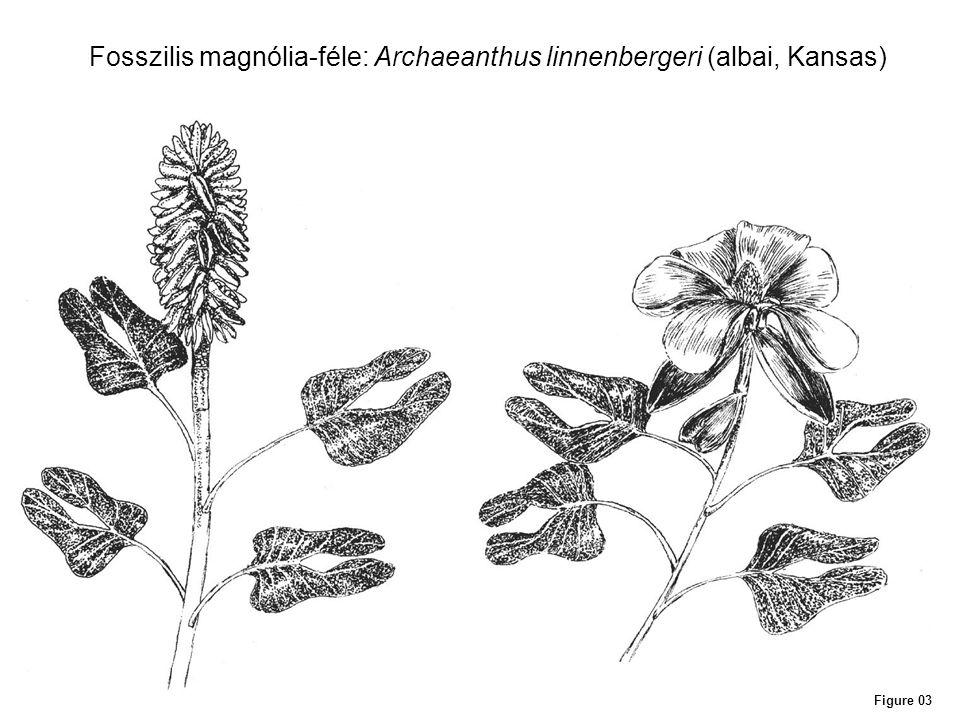 Fosszilis magnólia-féle: Archaeanthus linnenbergeri (albai, Kansas)