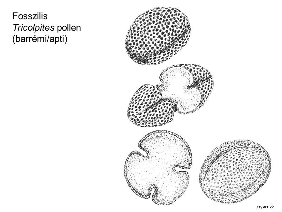 Fosszilis Tricolpites pollen (barrémi/apti) Figure 06