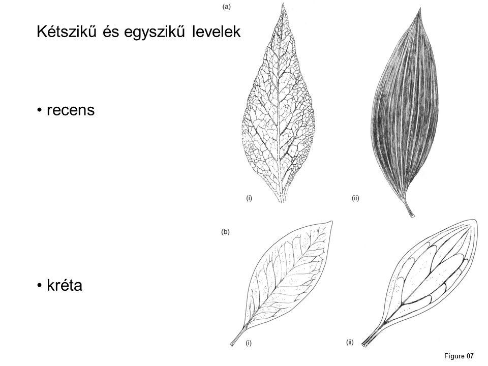 Kétszikű és egyszikű levelek