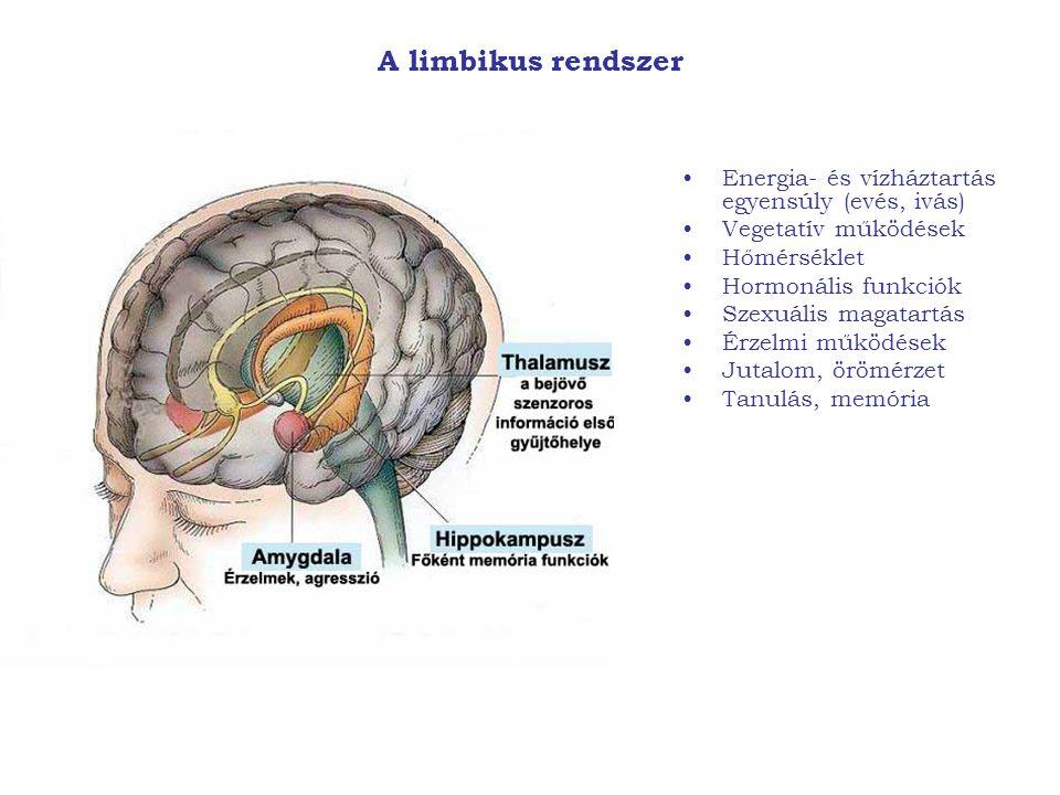 A limbikus rendszer Energia- és vízháztartás egyensúly (evés, ivás)