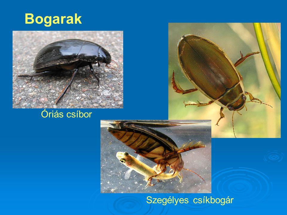 Bogarak Óriás csíbor Szegélyes csíkbogár