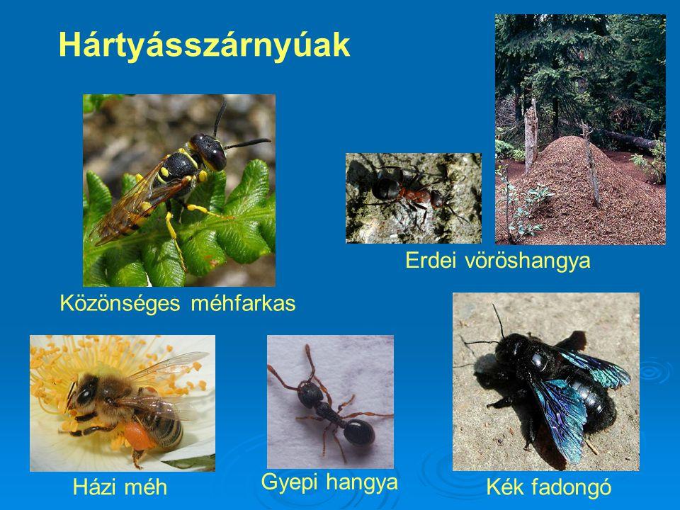 Hártyásszárnyúak Erdei vöröshangya Közönséges méhfarkas Gyepi hangya