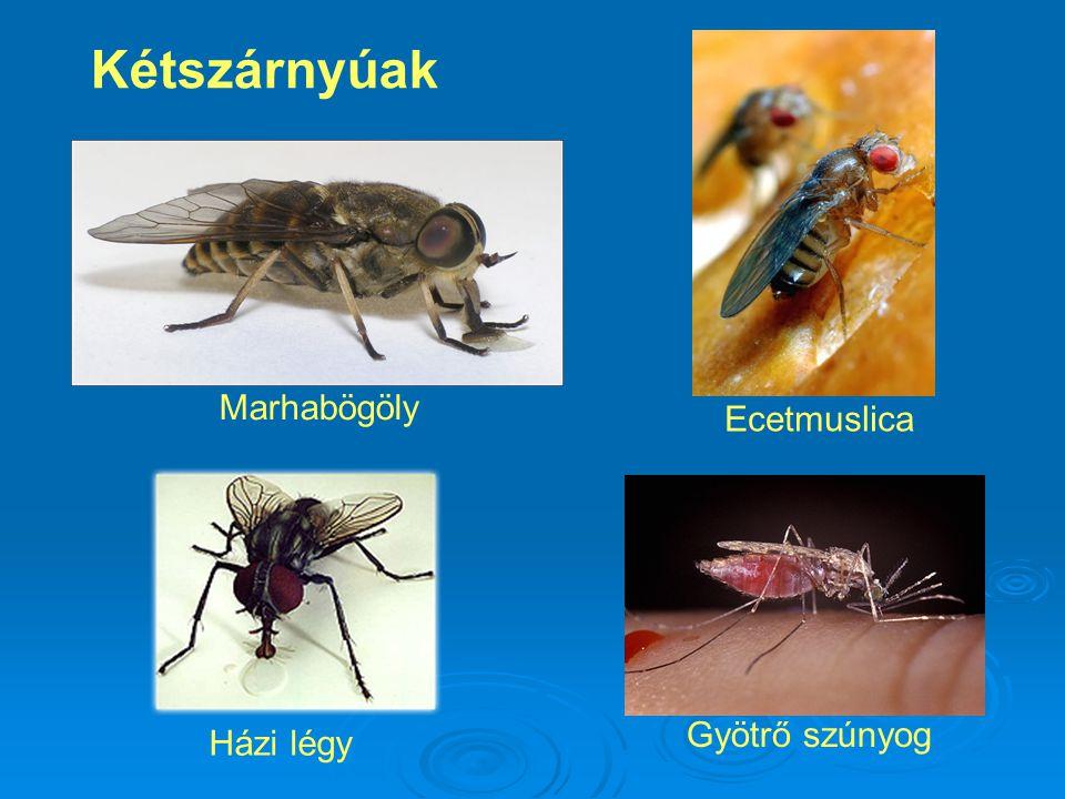 Kétszárnyúak Marhabögöly Ecetmuslica Gyötrő szúnyog Házi légy