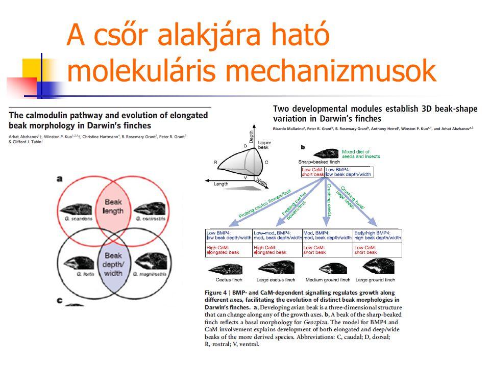 A csőr alakjára ható molekuláris mechanizmusok