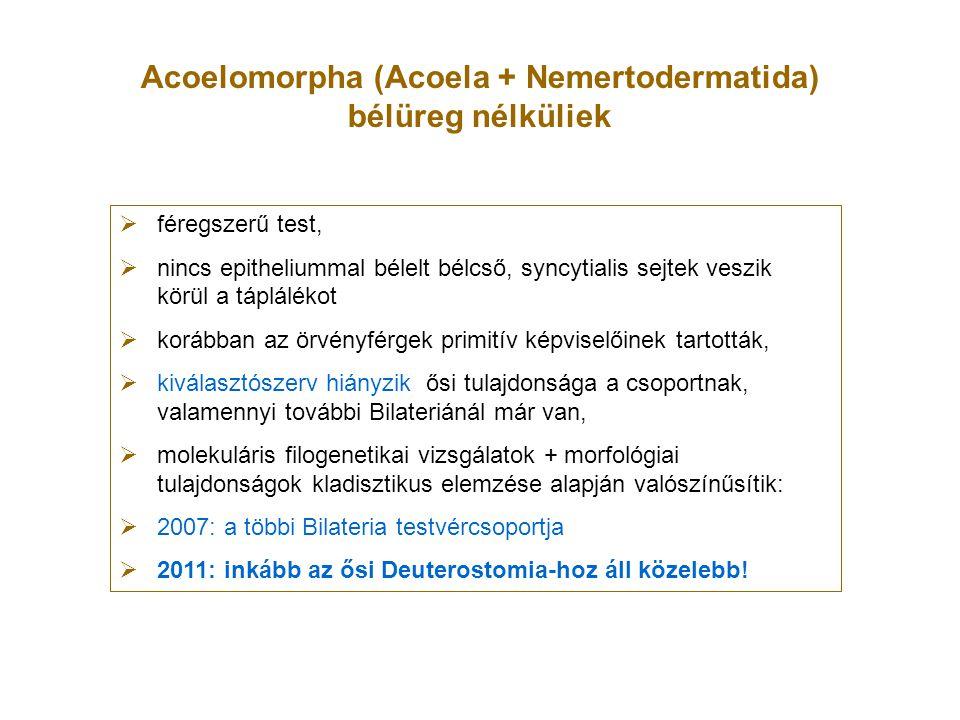 Acoelomorpha (Acoela + Nemertodermatida) bélüreg nélküliek