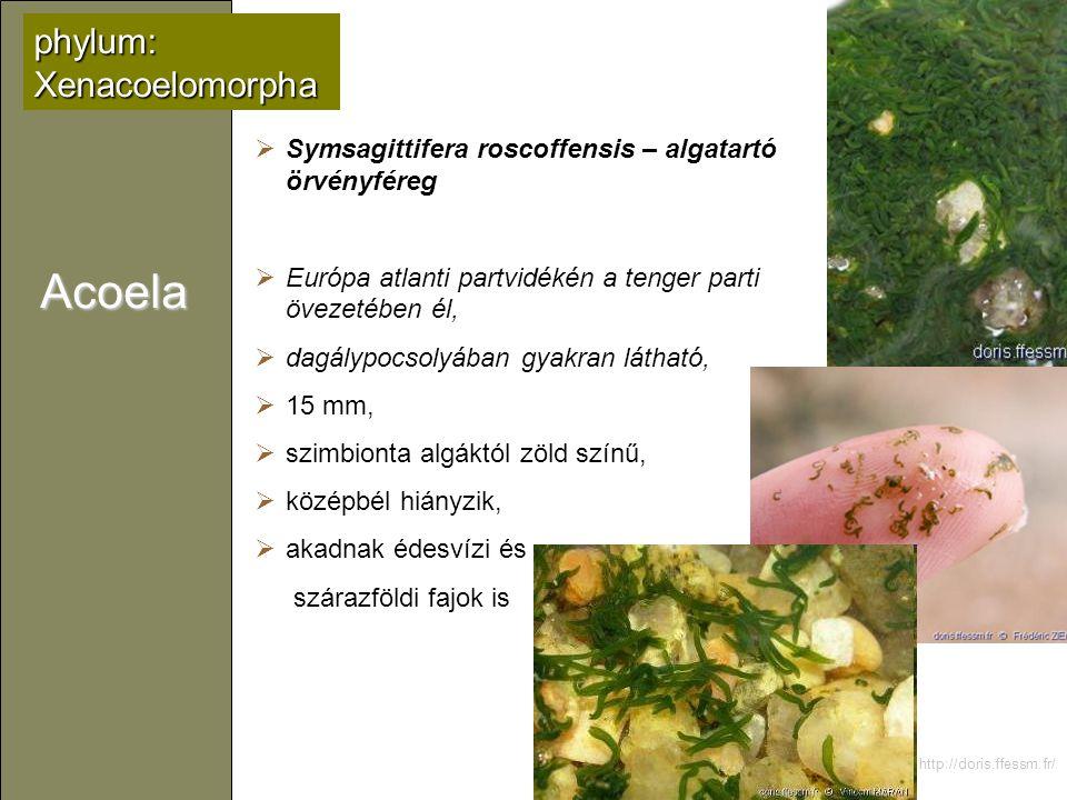 Acoela phylum: Xenacoelomorpha