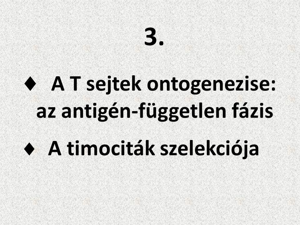 3.  A T sejtek ontogenezise: az antigén-független fázis