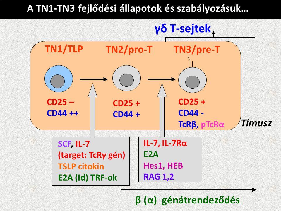 γδ T-sejtek A TN1-TN3 fejlődési állapotok és szabályozásuk… TN1/TLP