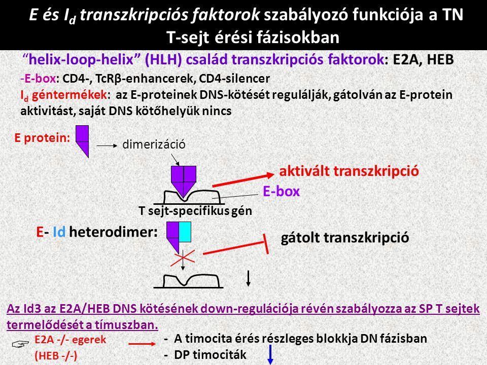  E és Id transzkripciós faktorok szabályozó funkciója a TN