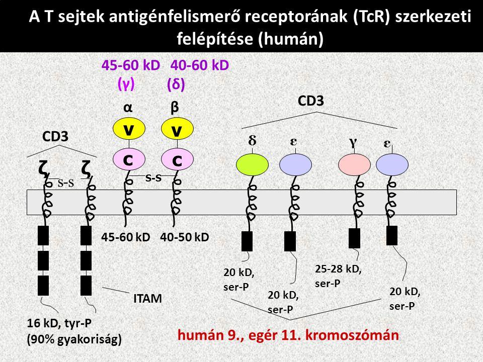 A T sejtek antigénfelismerő receptorának (TcR) szerkezeti felépítése (humán)