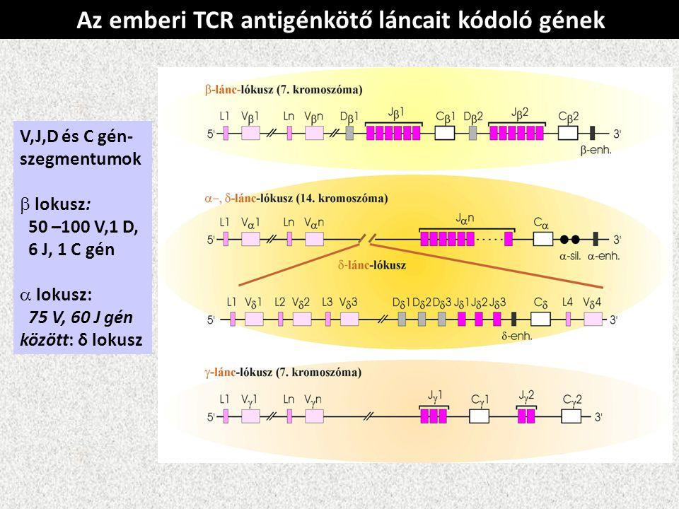 Az emberi TCR antigénkötő láncait kódoló gének