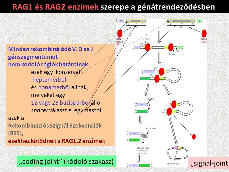 RAG1 és RAG2 enzimek szerepe a génátrendeződésben