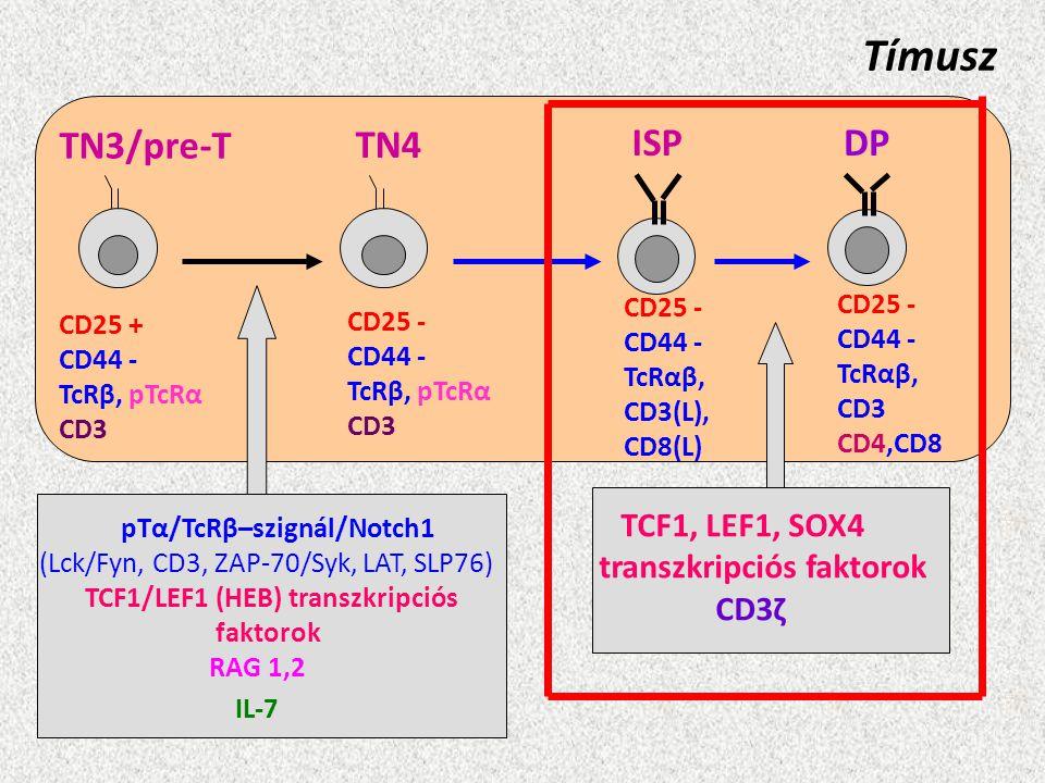 Tímusz TN3/pre-T TN4 ISP DP transzkripciós faktorok CD3ζ CD25 - CD44 -