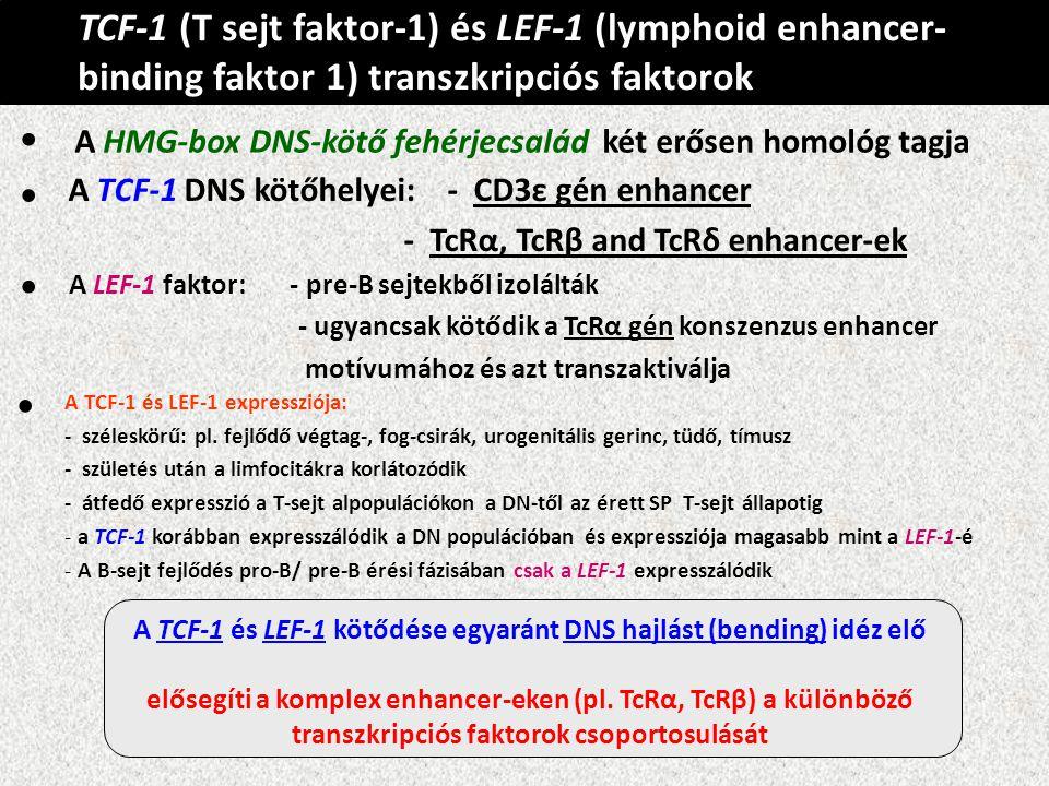 TCF-1 (T sejt faktor-1) és LEF-1 (lymphoid enhancer-binding faktor 1) transzkripciós faktorok