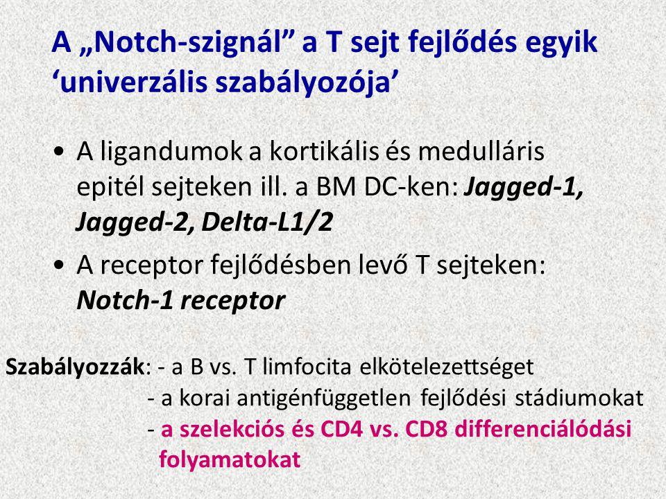 """A """"Notch-szignál a T sejt fejlődés egyik 'univerzális szabályozója'"""