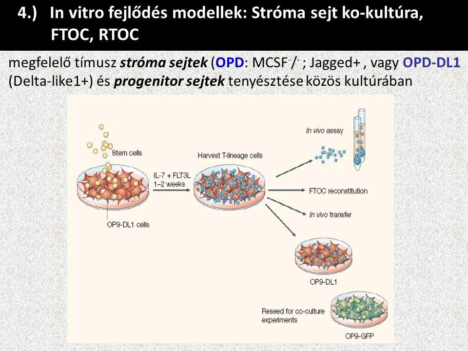 4.) In vitro fejlődés modellek: Stróma sejt ko-kultúra, FTOC, RTOC