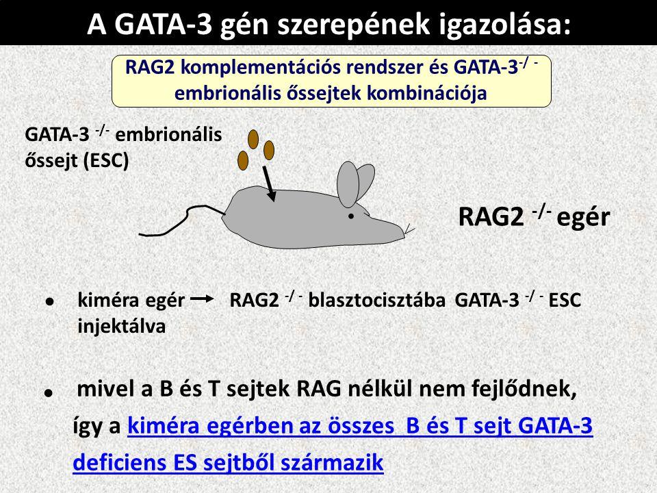 A GATA-3 gén szerepének igazolása: