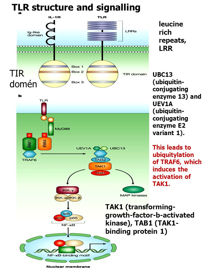 TLR structure and signalling
