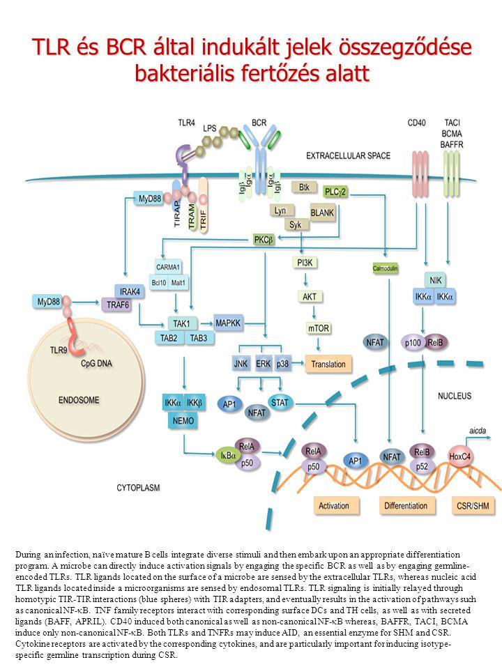 TLR és BCR által indukált jelek összegződése bakteriális fertőzés alatt