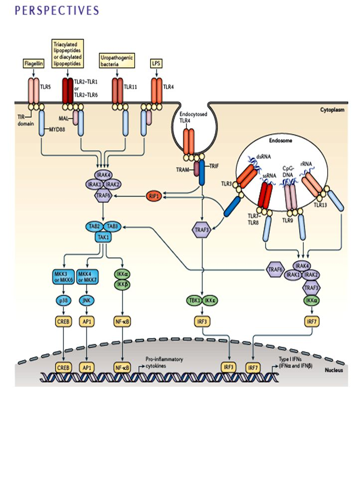 Figure 1 | Mammalian TLR signalling pathways