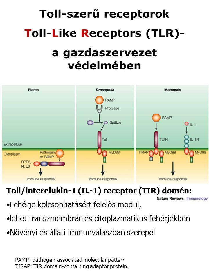 Toll-szerű receptorok Toll-Like Receptors (TLR)-