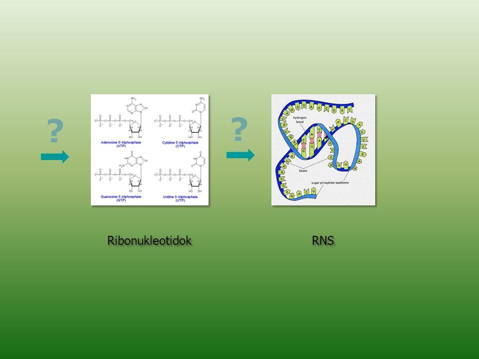 Ribonukleotidok RNS