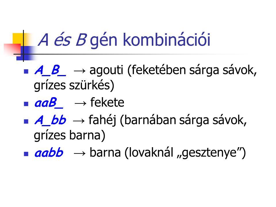 A és B gén kombinációi A_B_ → agouti (feketében sárga sávok, grízes szürkés) aaB_ → fekete. A_bb → fahéj (barnában sárga sávok, grízes barna)