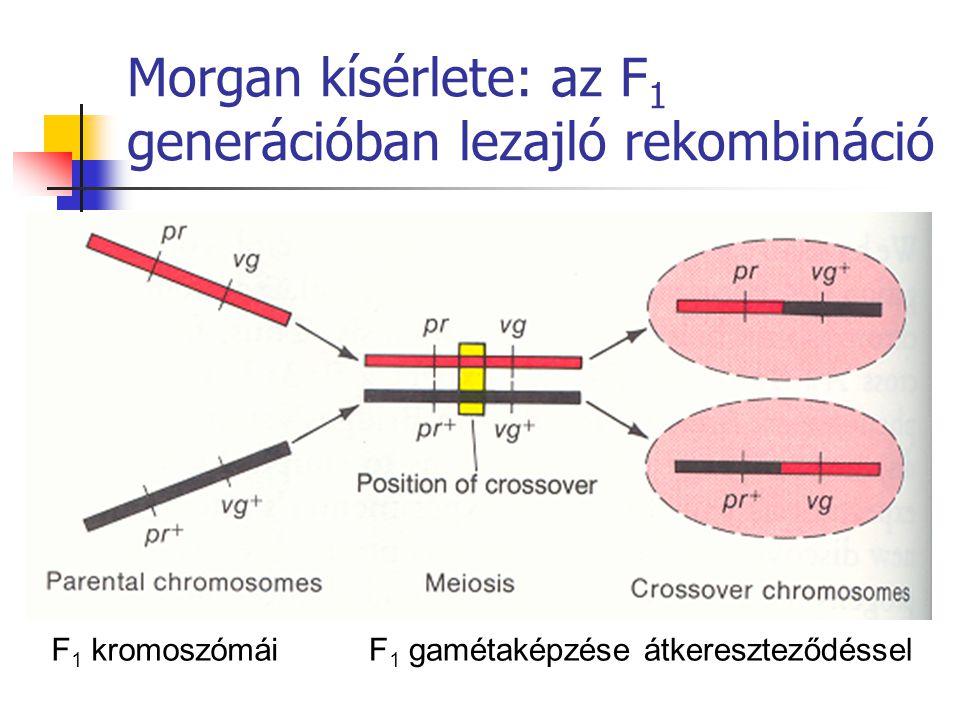 Morgan kísérlete: az F1 generációban lezajló rekombináció