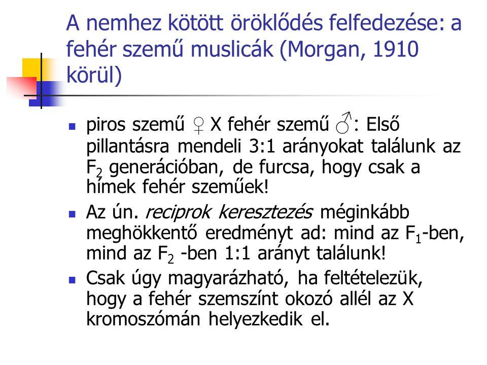 A nemhez kötött öröklődés felfedezése: a fehér szemű muslicák (Morgan, 1910 körül)