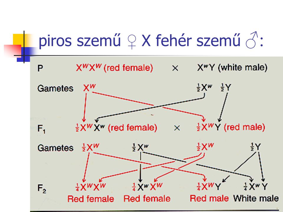 piros szemű ♀ X fehér szemű ♂: