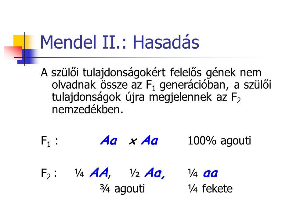 Mendel II.: Hasadás