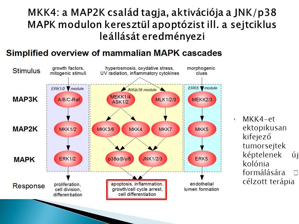 MKK4: a MAP2K család tagja, aktivációja a JNK/p38 MAPK modulon keresztül apoptózist ill. a sejtciklus leállását eredményezi