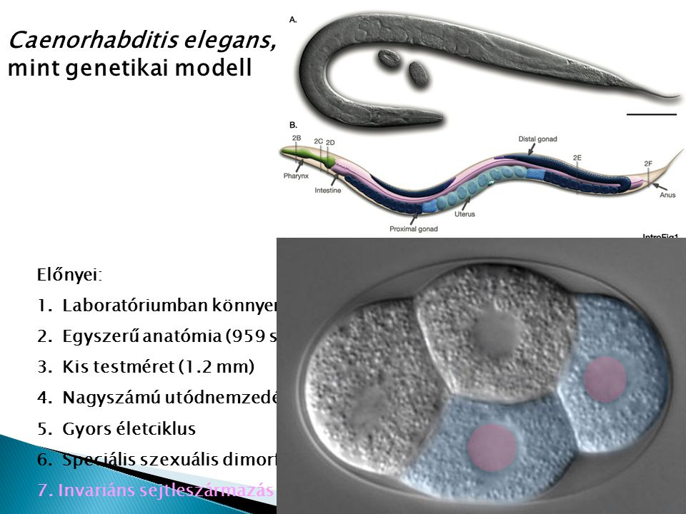 Caenorhabditis elegans, mint genetikai modell