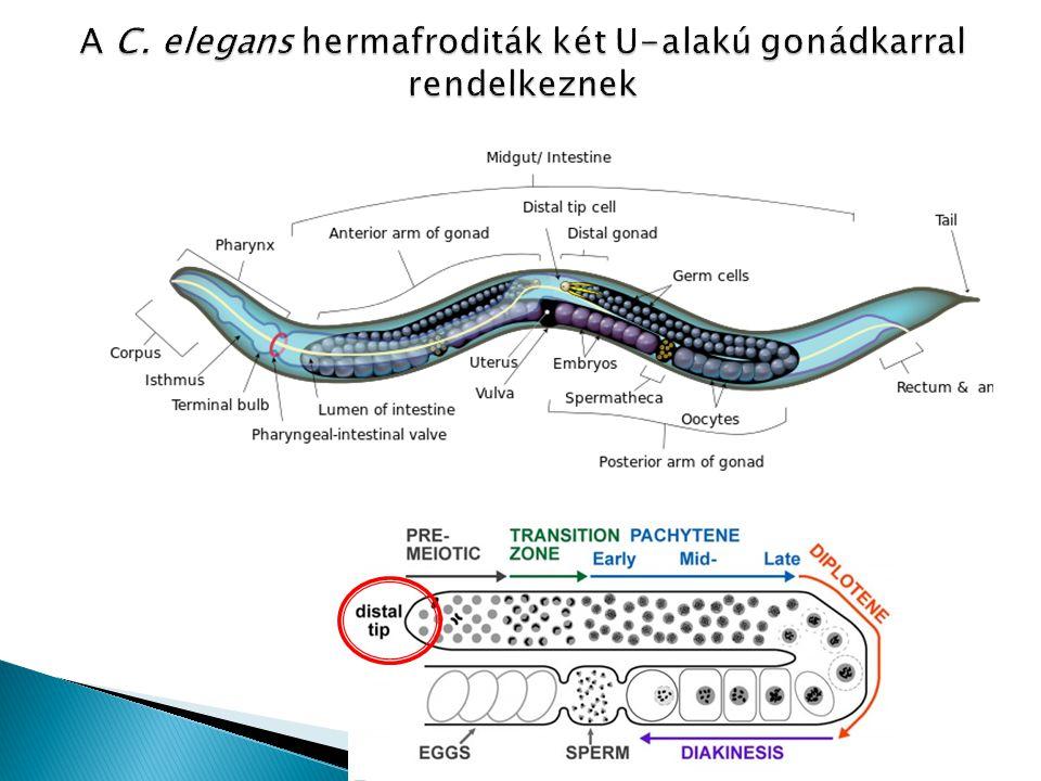 A C. elegans hermafroditák két U-alakú gonádkarral rendelkeznek