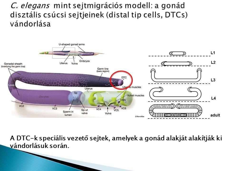 C. elegans mint sejtmigrációs modell: a gonád disztális csúcsi sejtjeinek (distal tip cells, DTCs) vándorlása