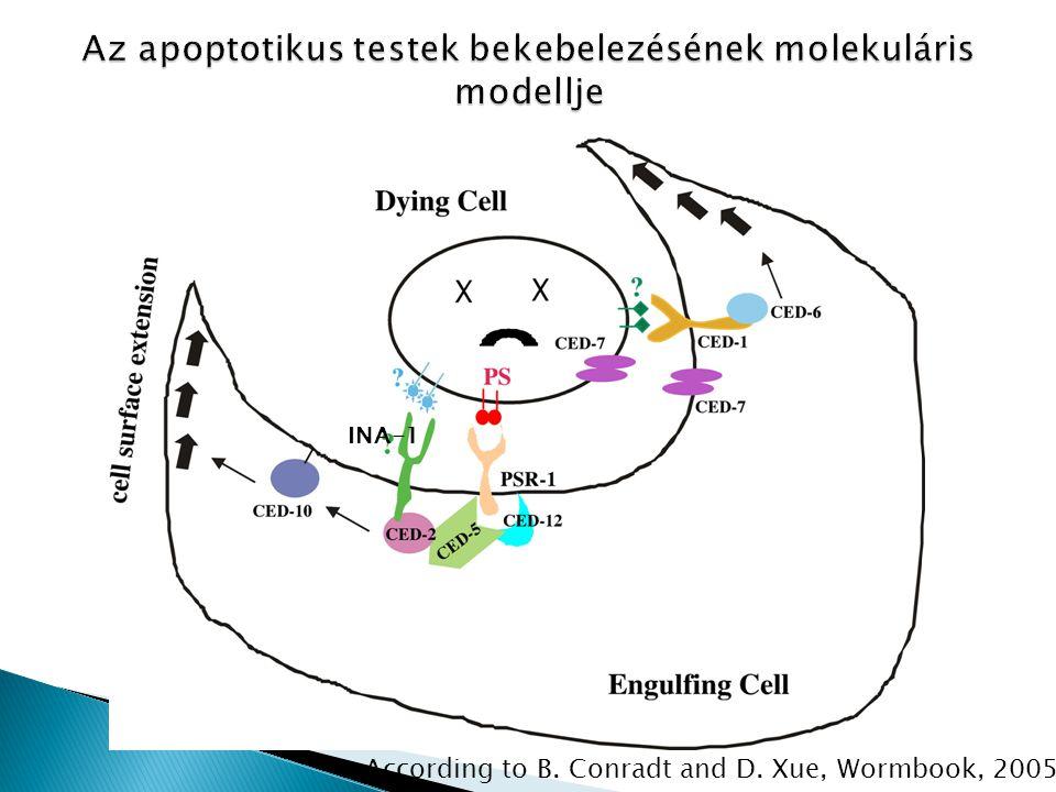 Az apoptotikus testek bekebelezésének molekuláris modellje