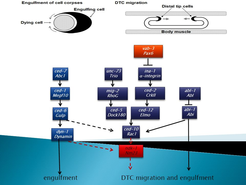 DTC migration and engulfment