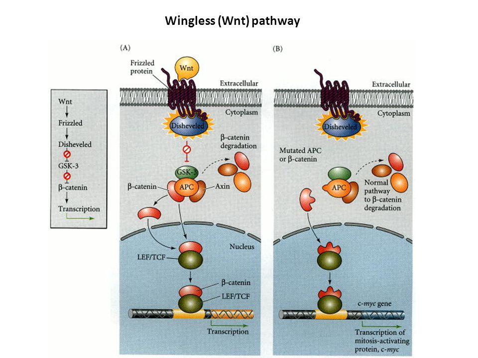Wingless (Wnt) pathway