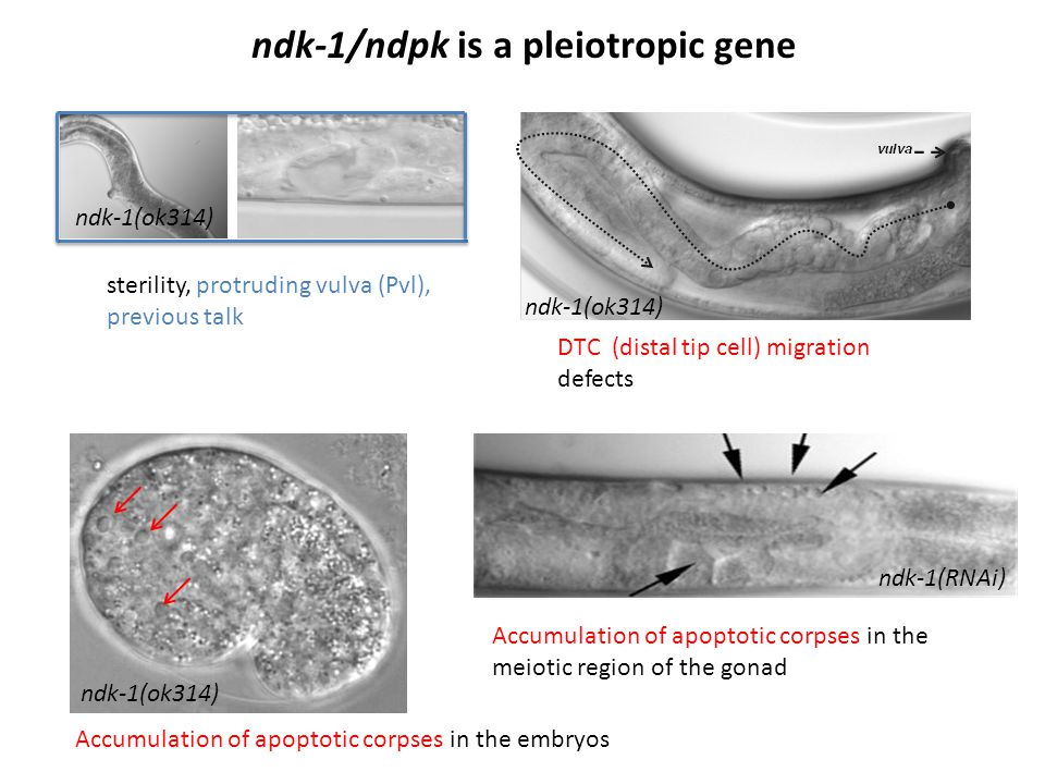 ndk-1/ndpk is a pleiotropic gene