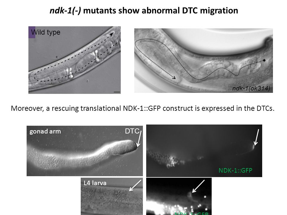 ndk-1(-) mutants show abnormal DTC migration