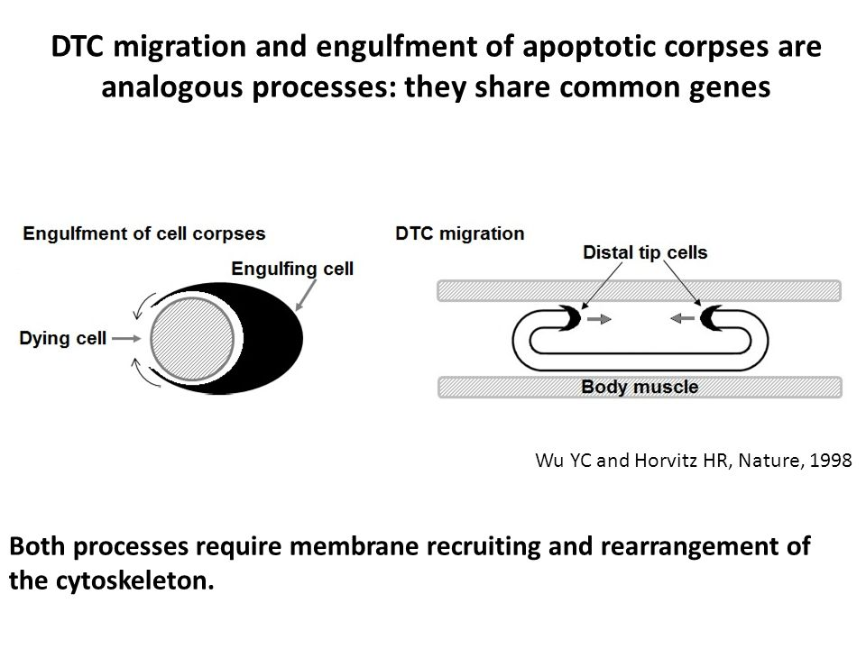DTC migration and engulfment of apoptotic corpses are analogous processes: they share common genes