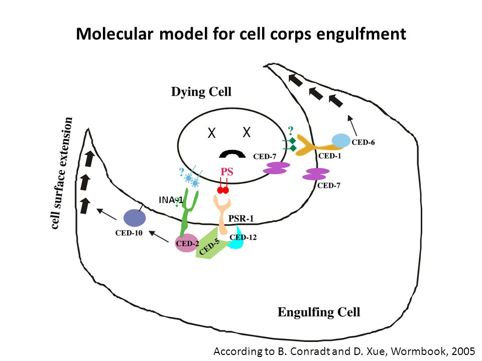 Molecular model for cell corps engulfment