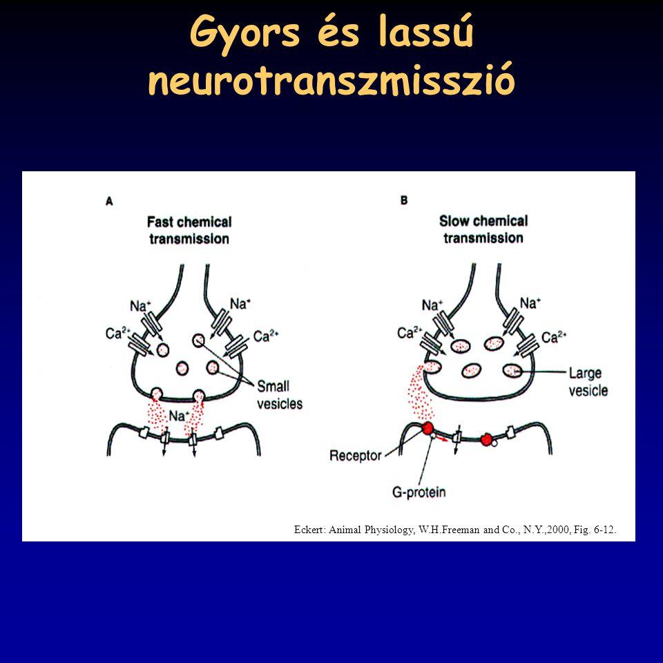 Gyors és lassú neurotranszmisszió