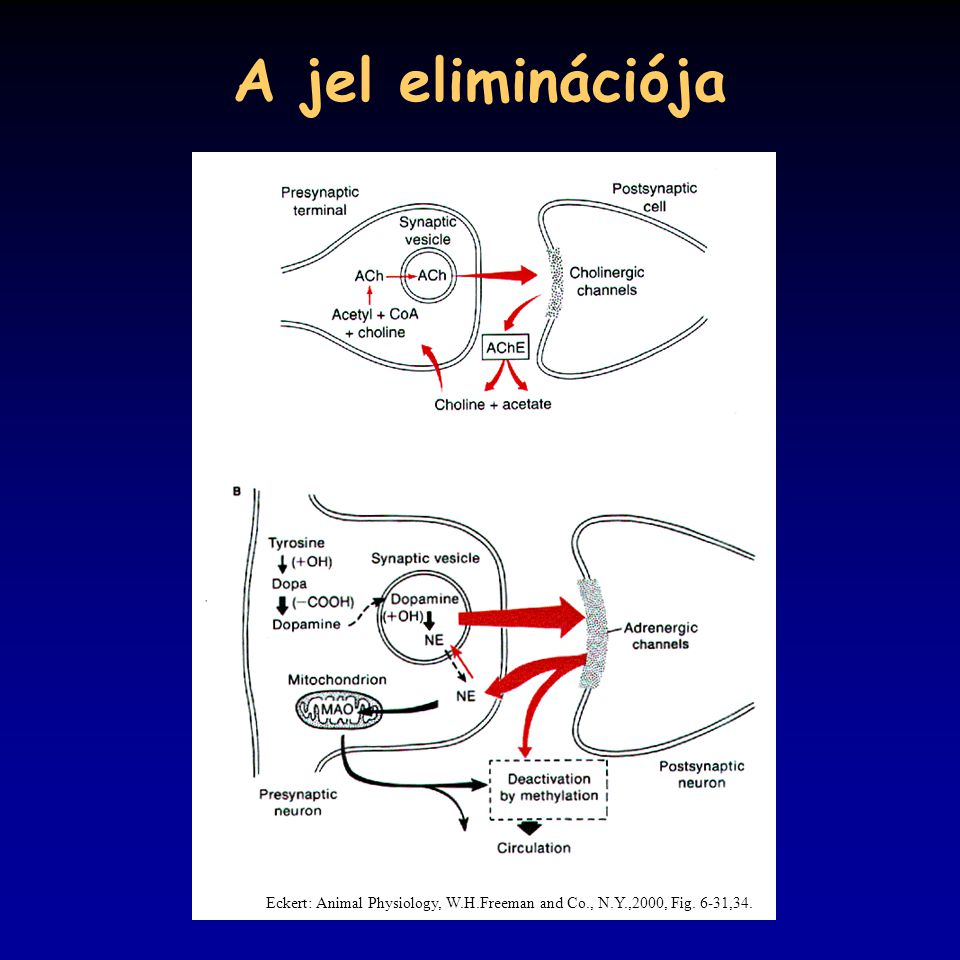 A jel eliminációja Eckert: Animal Physiology, W.H.Freeman and Co., N.Y.,2000, Fig. 6-31,34.