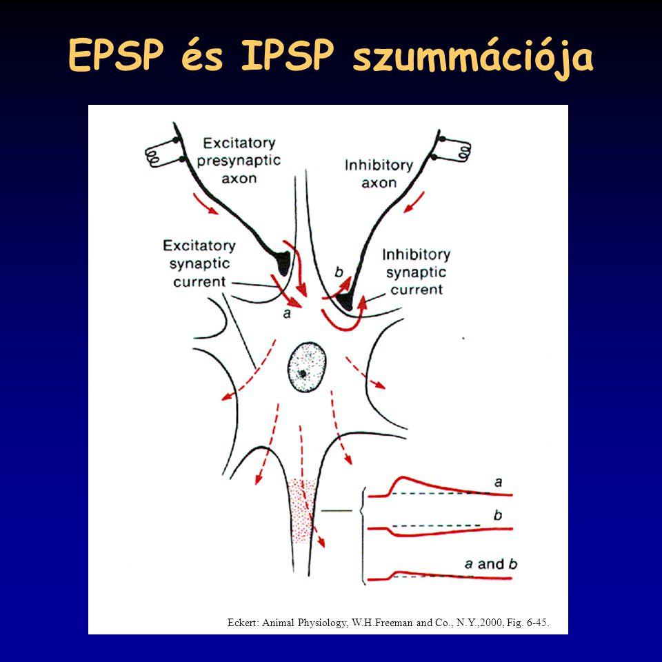 EPSP és IPSP szummációja